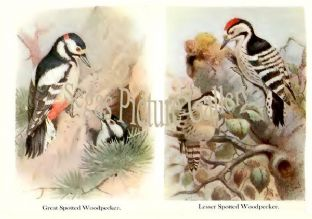 Great Spotted Woodpecker & Lesser Spotted Woodpecker